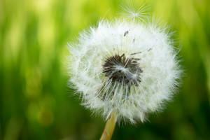 Dandelion by alwaysmood