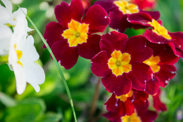 Big red spring flowers by alwaysmood