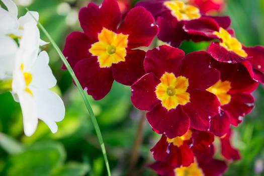 Big red spring flowers