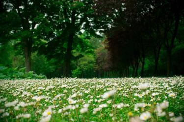 Daisy field by alwaysmood