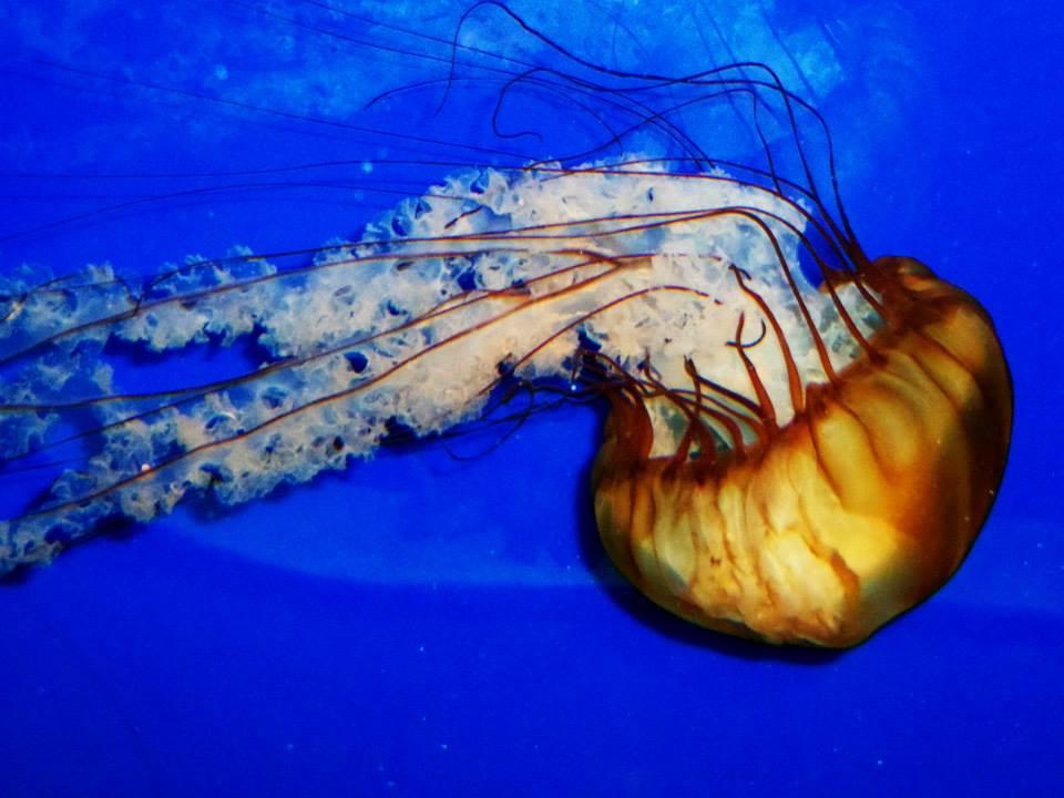 Beautiful Jellyfish by Daemonium-Venatrix