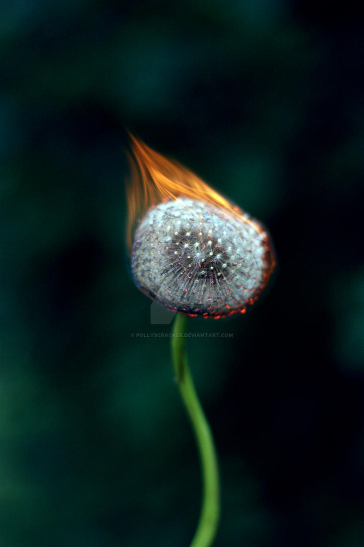 Burning Dandelion I by Pollyscracker