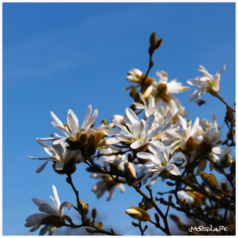 Spring Blossom by Moosplauze