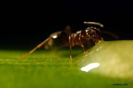 Ant No. I