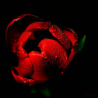 Morning Tulip by Moosplauze