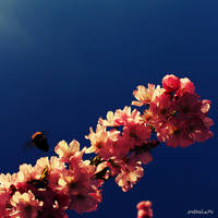 Bumble Bee on Japanese Cherry