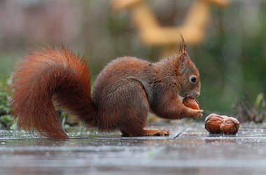 German Squirrel collecting nuts in the rain