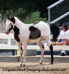 Paint Horse 16