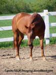 Quarter Horse 45