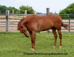 Quarter Horse 46