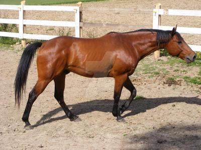 Quarter Horse 48 by EquineStockImagery