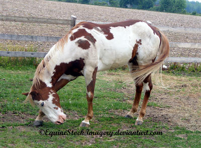 Paint Horse 34 by EquineStockImagery