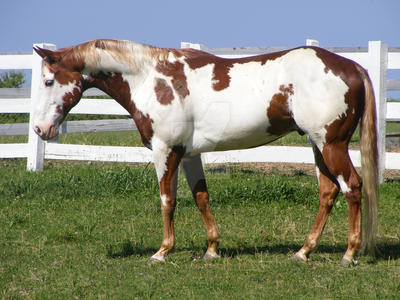 Paint Horse 36 by EquineStockImagery