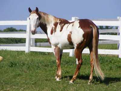 Paint Horse 37 by EquineStockImagery