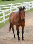 Quarter Horse 54