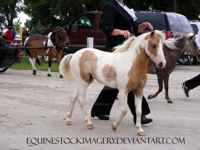 Miniature Horse 11 by EquineStockImagery