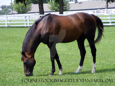 Thoroughbred 4 by EquineStockImagery