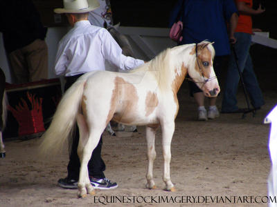 Miniature Horse 14 by EquineStockImagery