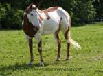 Paint Horse 54