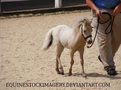 Miniature Horse foal 1 by EquineStockImagery
