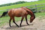 Quarter Horse 76