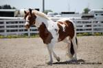 Paint Horse 85