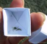 -tiny crab-
