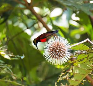 Crimson Sunbird by vinsky2002
