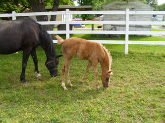 foal grazing by MollyMay335