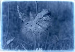 Milkweed by somethingimportant