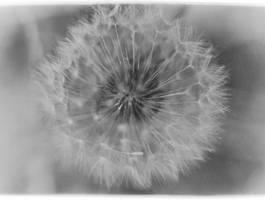 Dandelion by somethingimportant