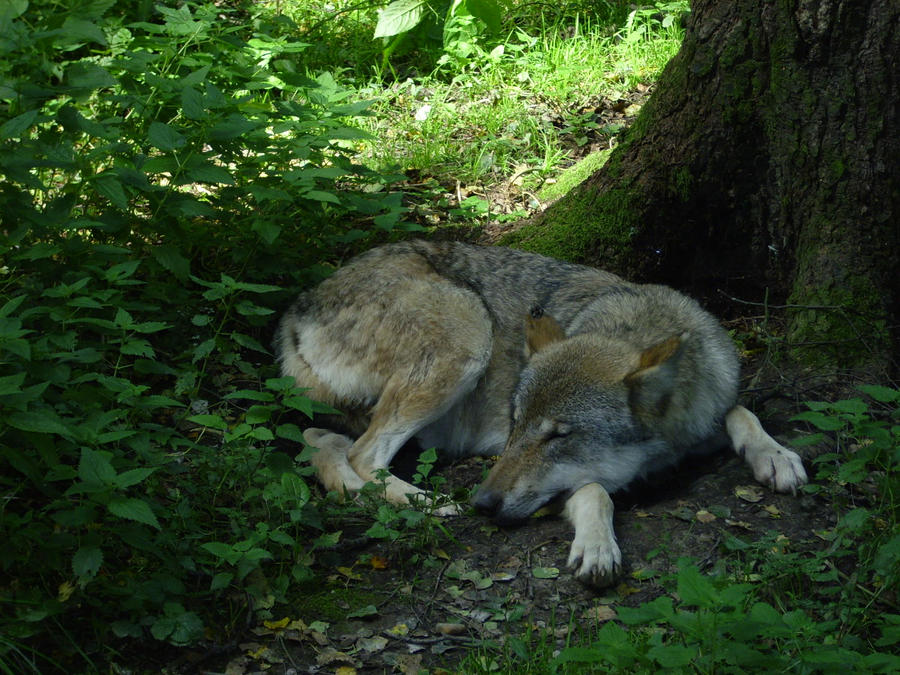 sleeping_wolf_in_munich_zoo_by_wolf_love