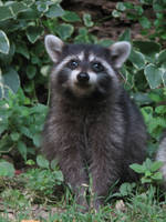 Smiling Baby Raccoon by SlowMatsu