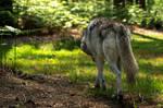 Wolf, Walking