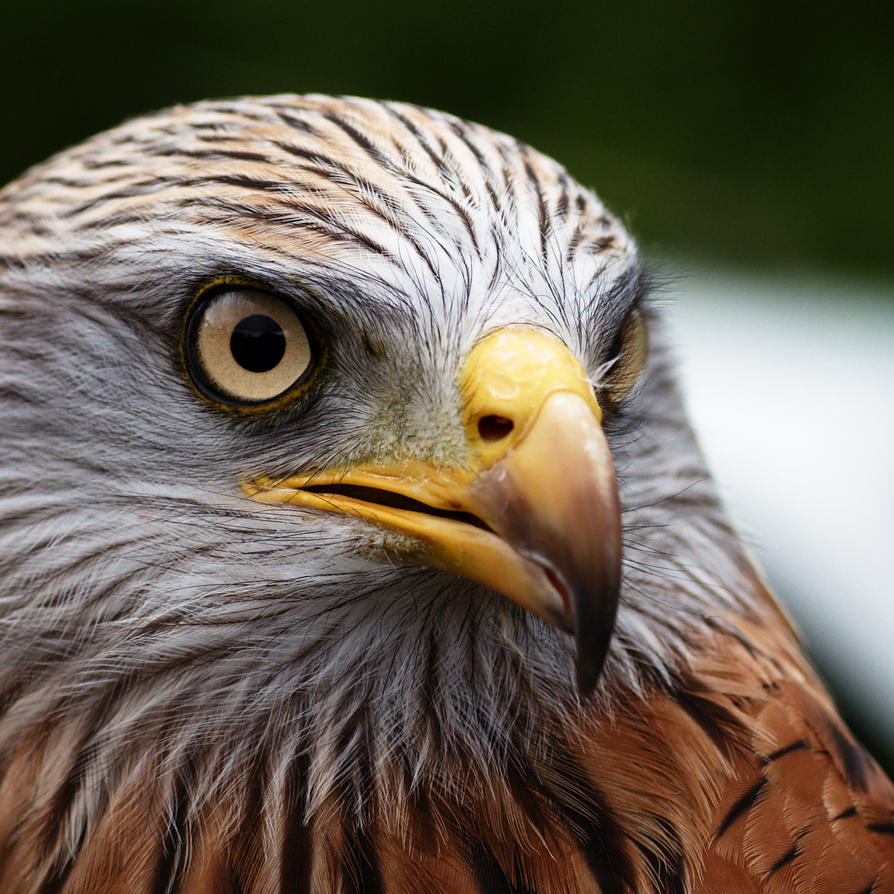 Red Kite, up close by FurLined
