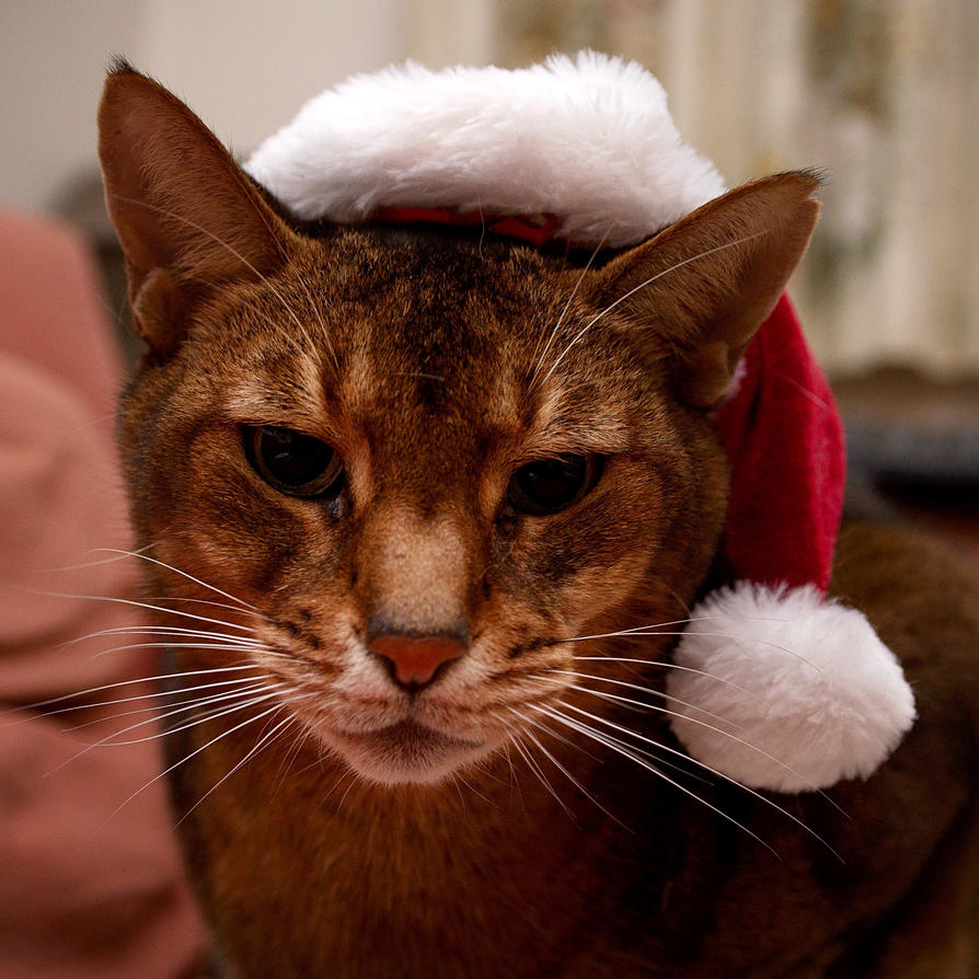 Cat With Santa Hat On Back Of Head