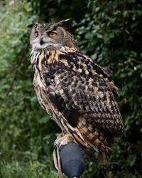 Eurasian Eagle Owl, perched 2