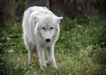 Arctic Wolf Cub 2