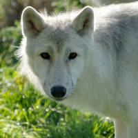 Arctic Wolf Cub 5