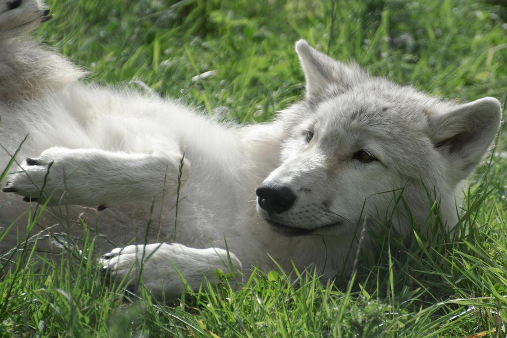 Arctic Wolf Cub 6 by FurLined