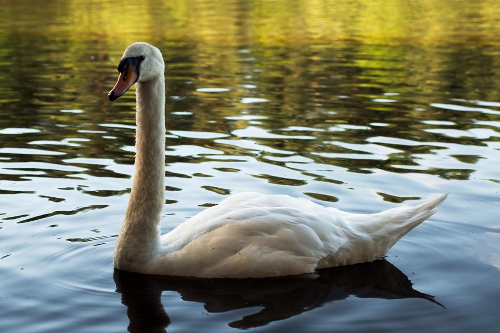 Swan 20120728-1 by FurLined