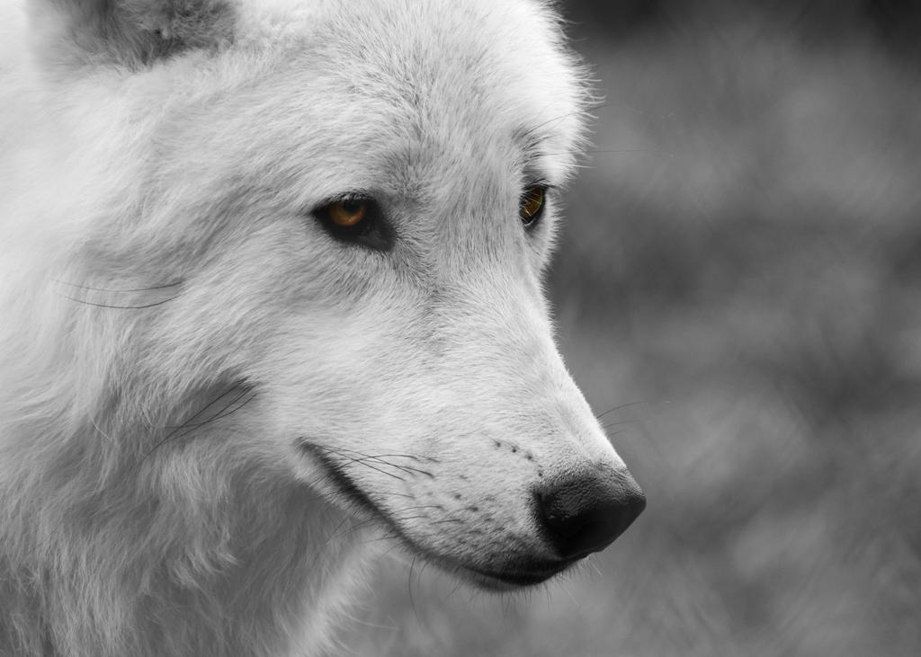 Arctic Wolf Cub 7 by FurLined