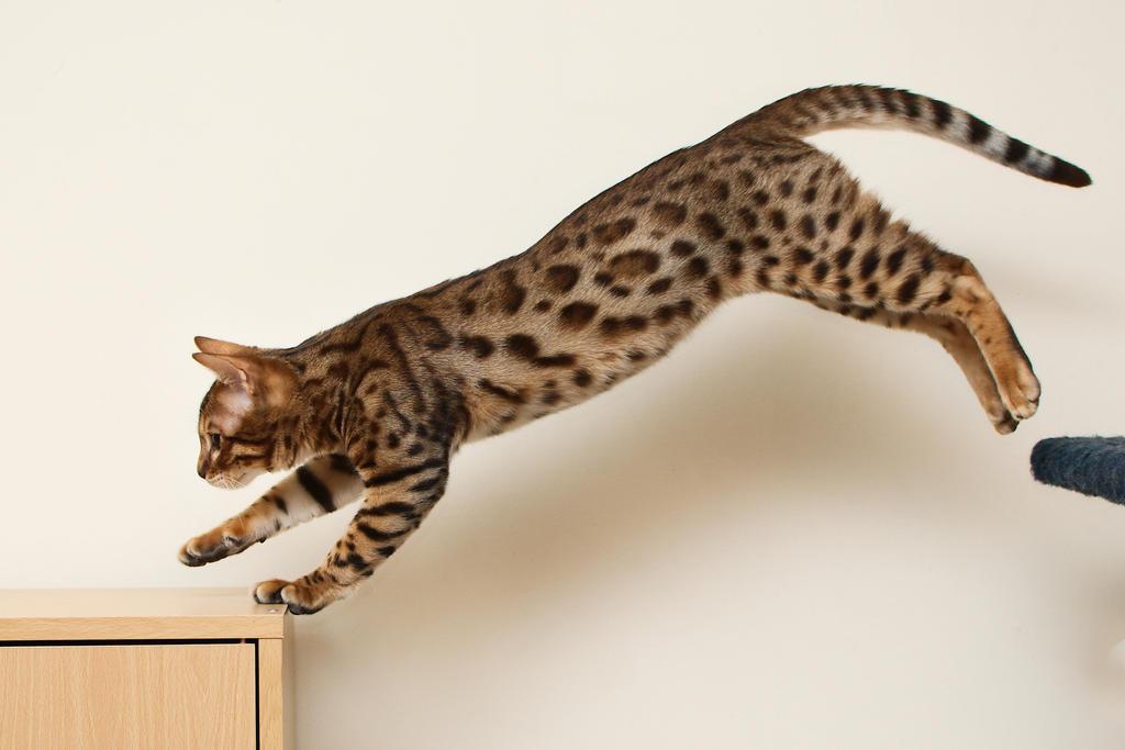 Bengal Kitten Leap 3 by FurLined
