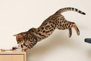 Bengal Kitten Leap 2 by FurLined