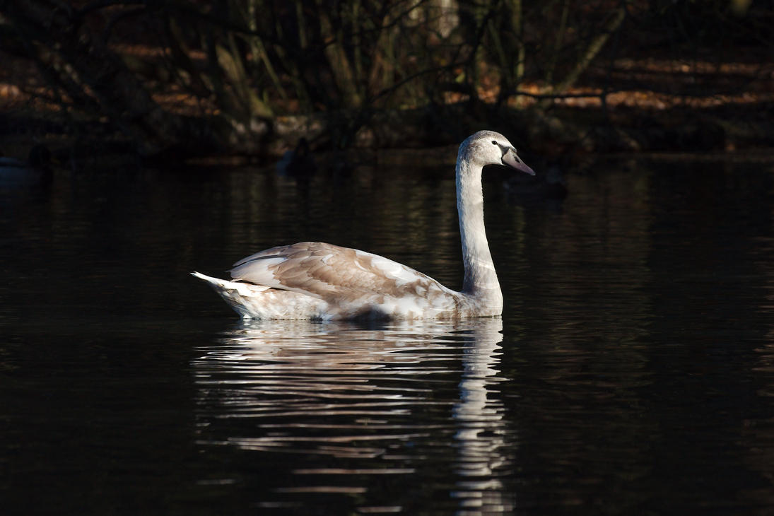 Juvenile Swan 20121118-1 by FurLined