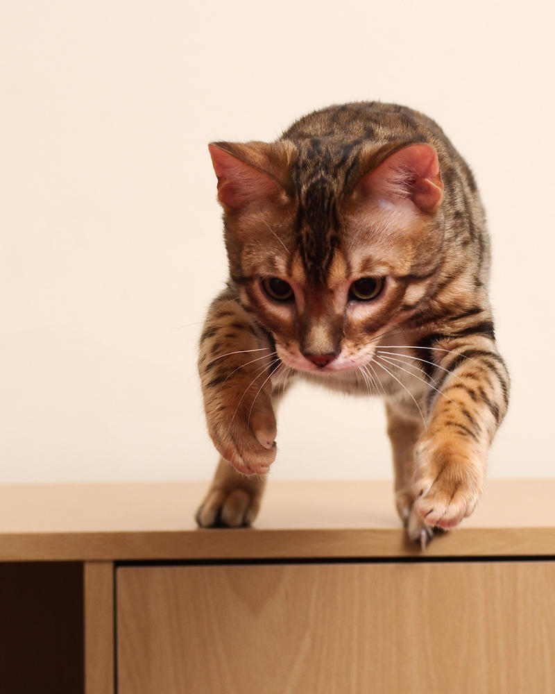 Bengal Kitten Forward Leap 2 by FurLined