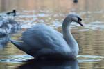 Swan 20121118-1