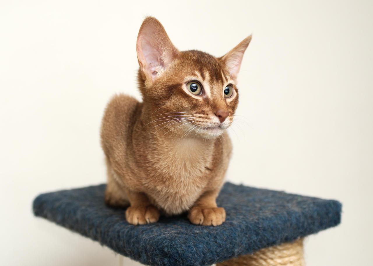 Abyssinian Kitten 20121115-1 by FurLined