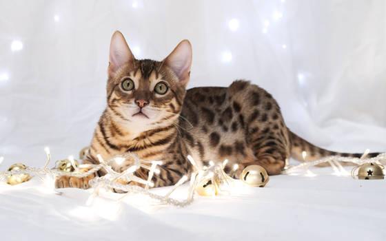Festive Bengal Kitten Stock 1
