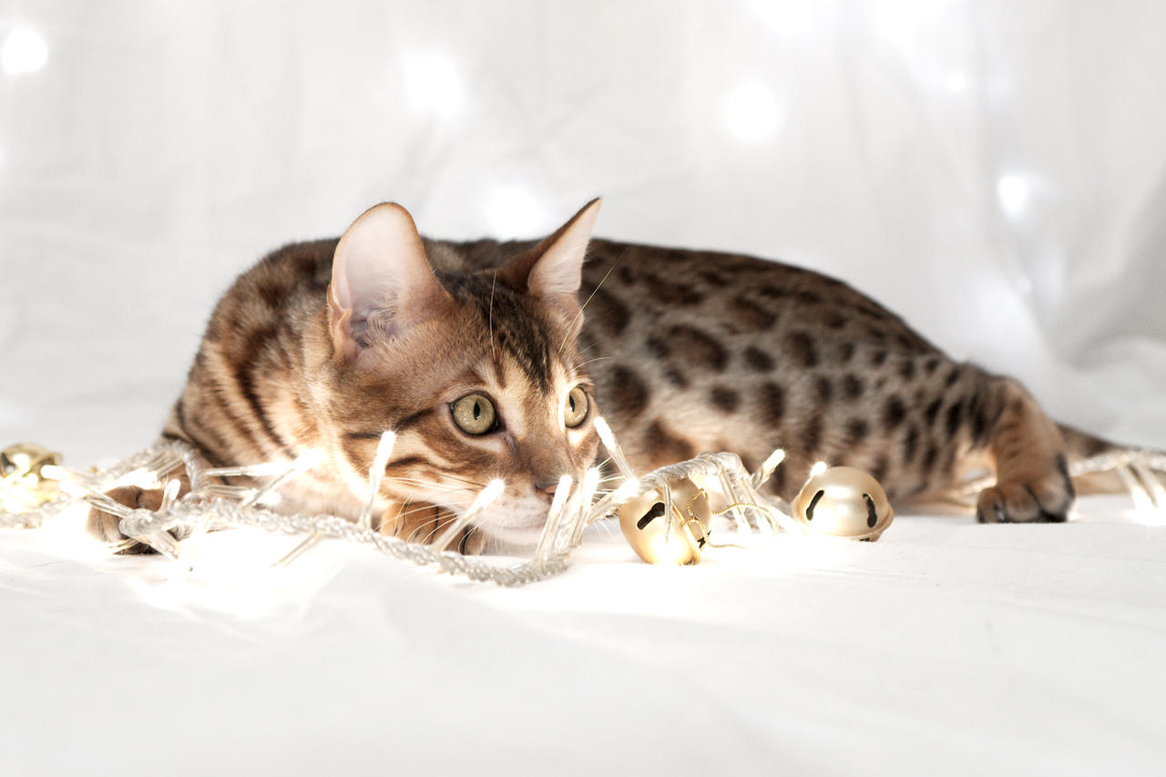 Festive Bengal Kitten Stock 2 by FurLined